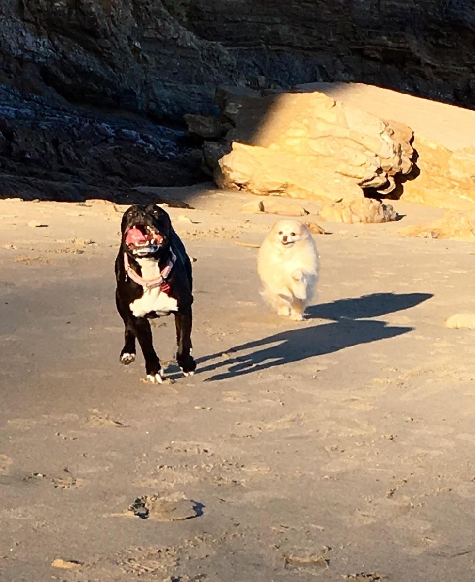 roxy-pitbull-peur-1