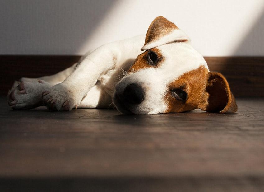 signes-deshydratation-chien-1