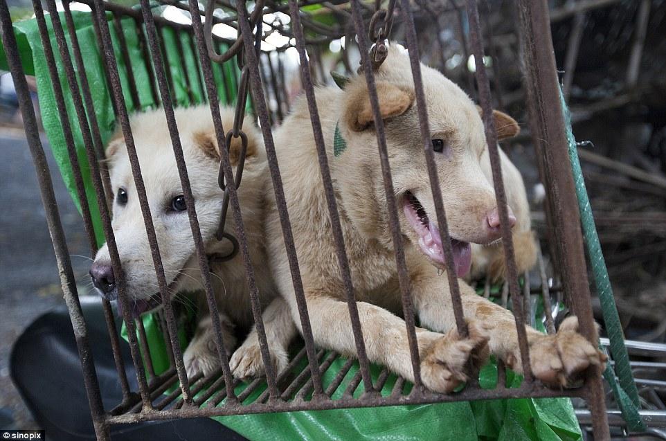 yulin-festival-chien-12
