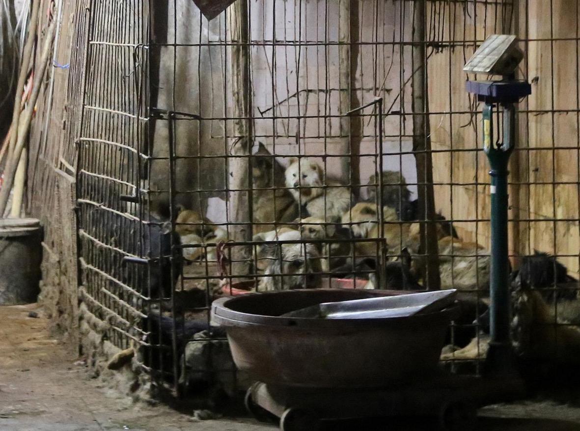 yulin-festival-chien-9