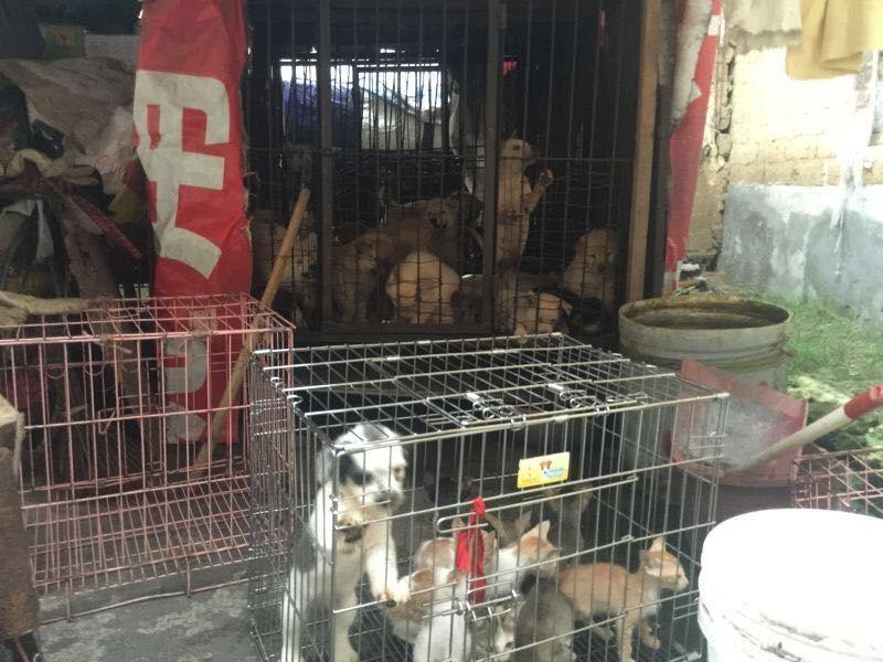 yulin-festival-dog-meat-35