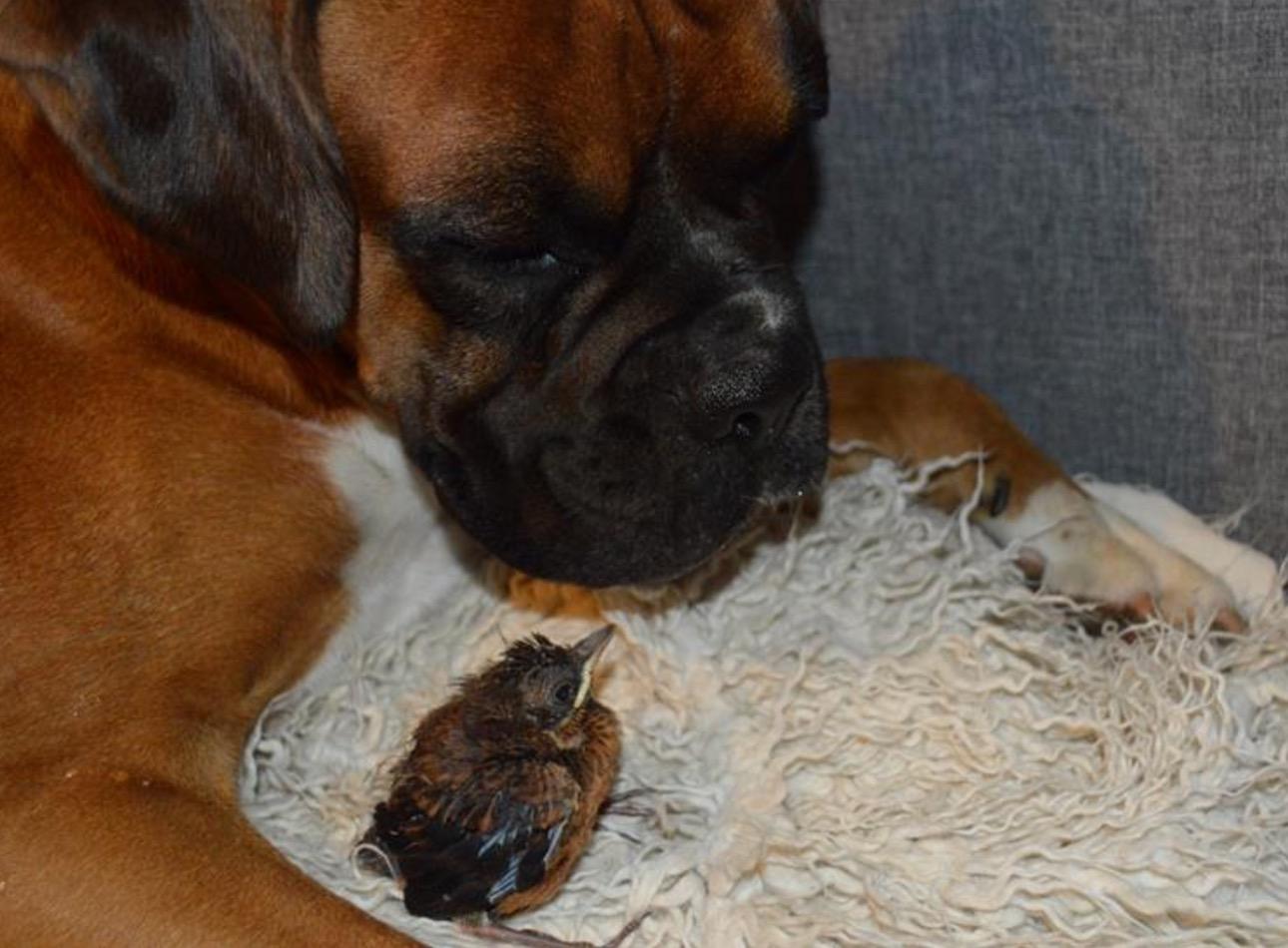 boxer-adopte-oiseau-rusty-3