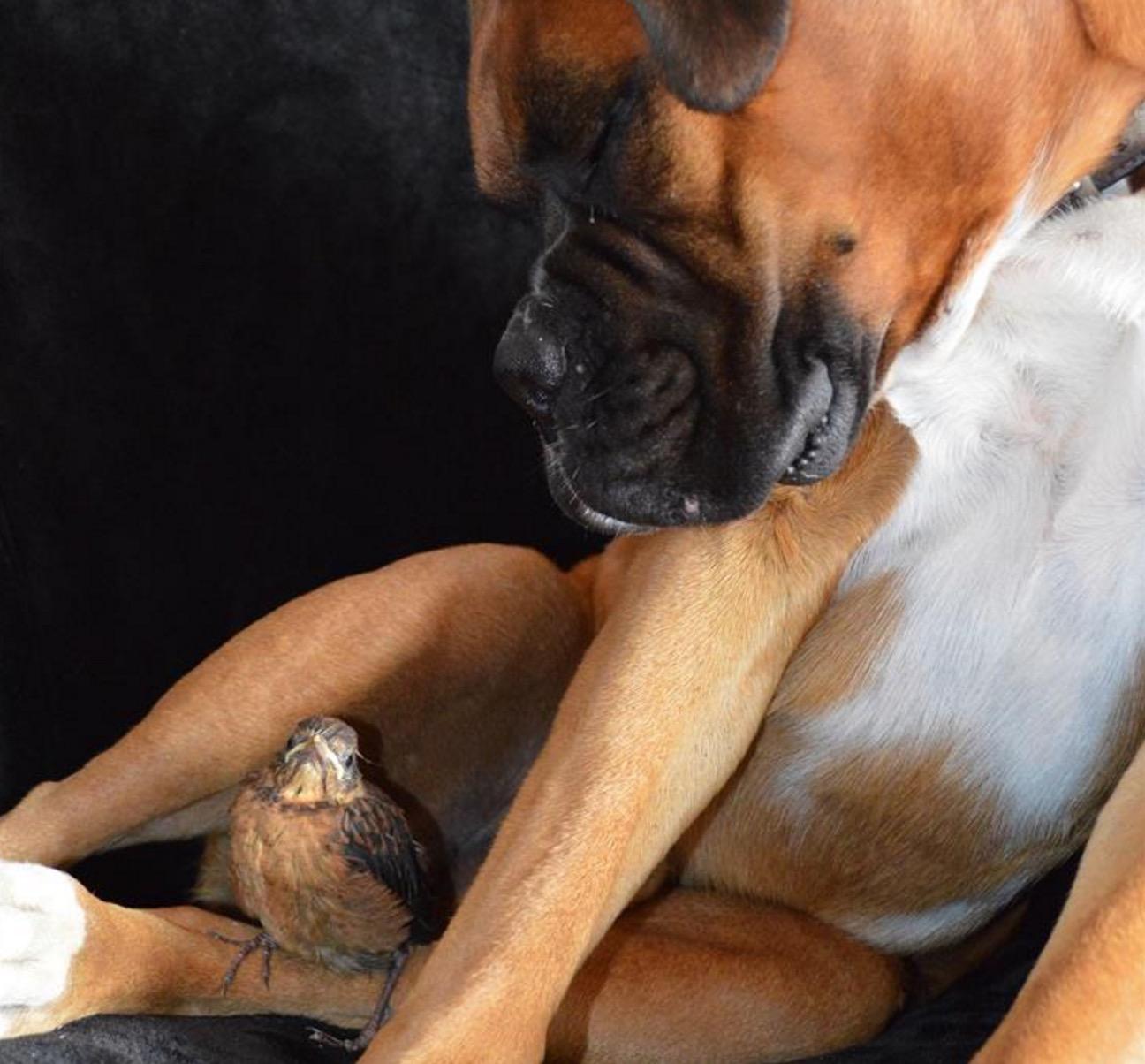 boxer-adopte-oiseau-rusty-4