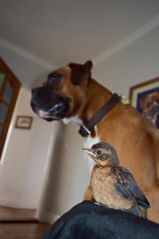 boxer-adopte-oiseau-rusty-5