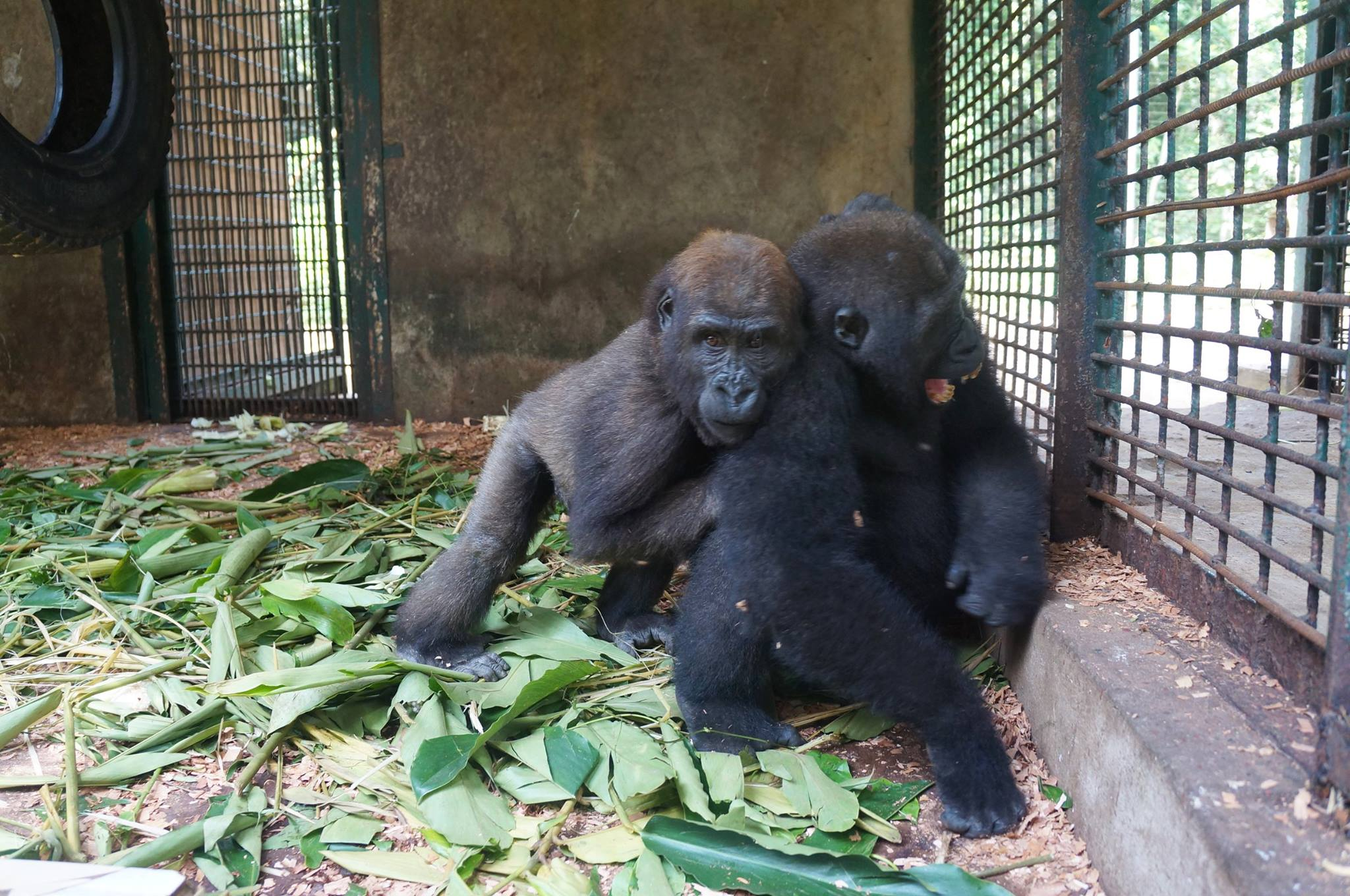 parry-gorilla-1