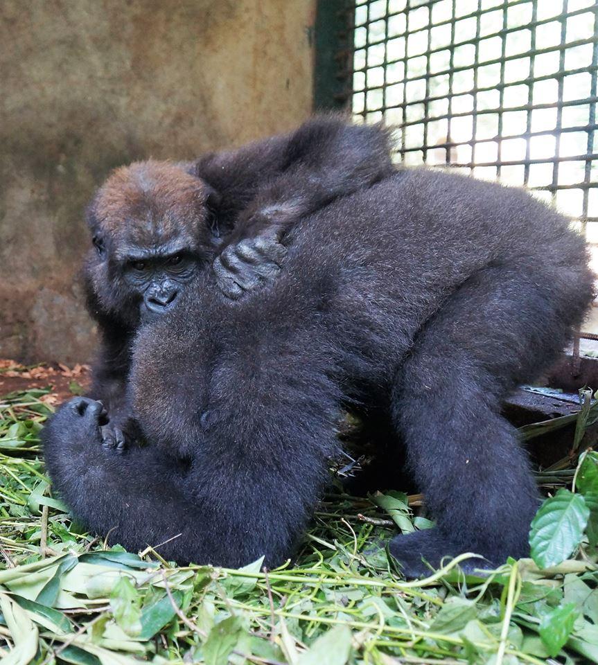 parry-gorilla-3