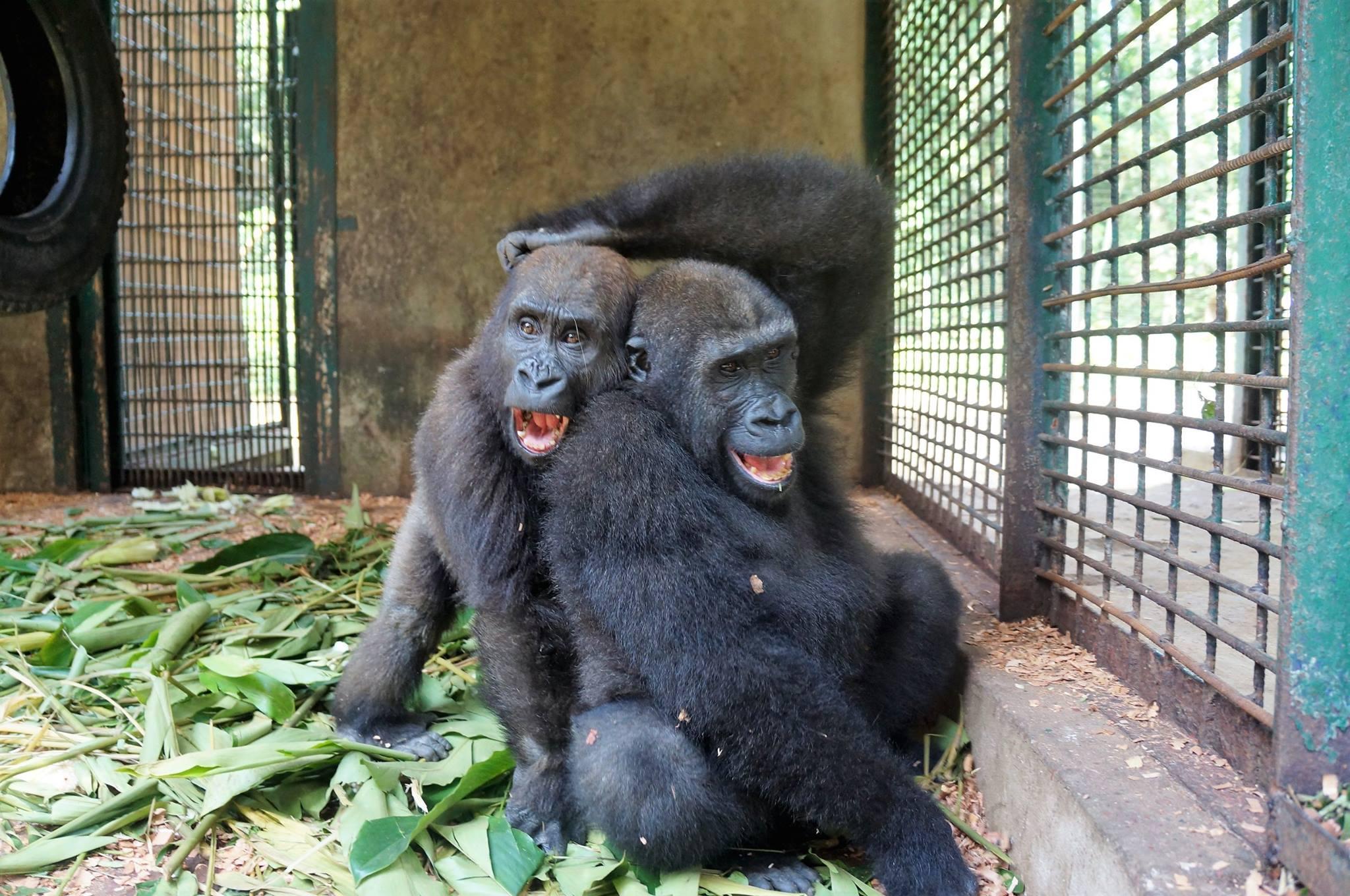 parry-gorilla-4