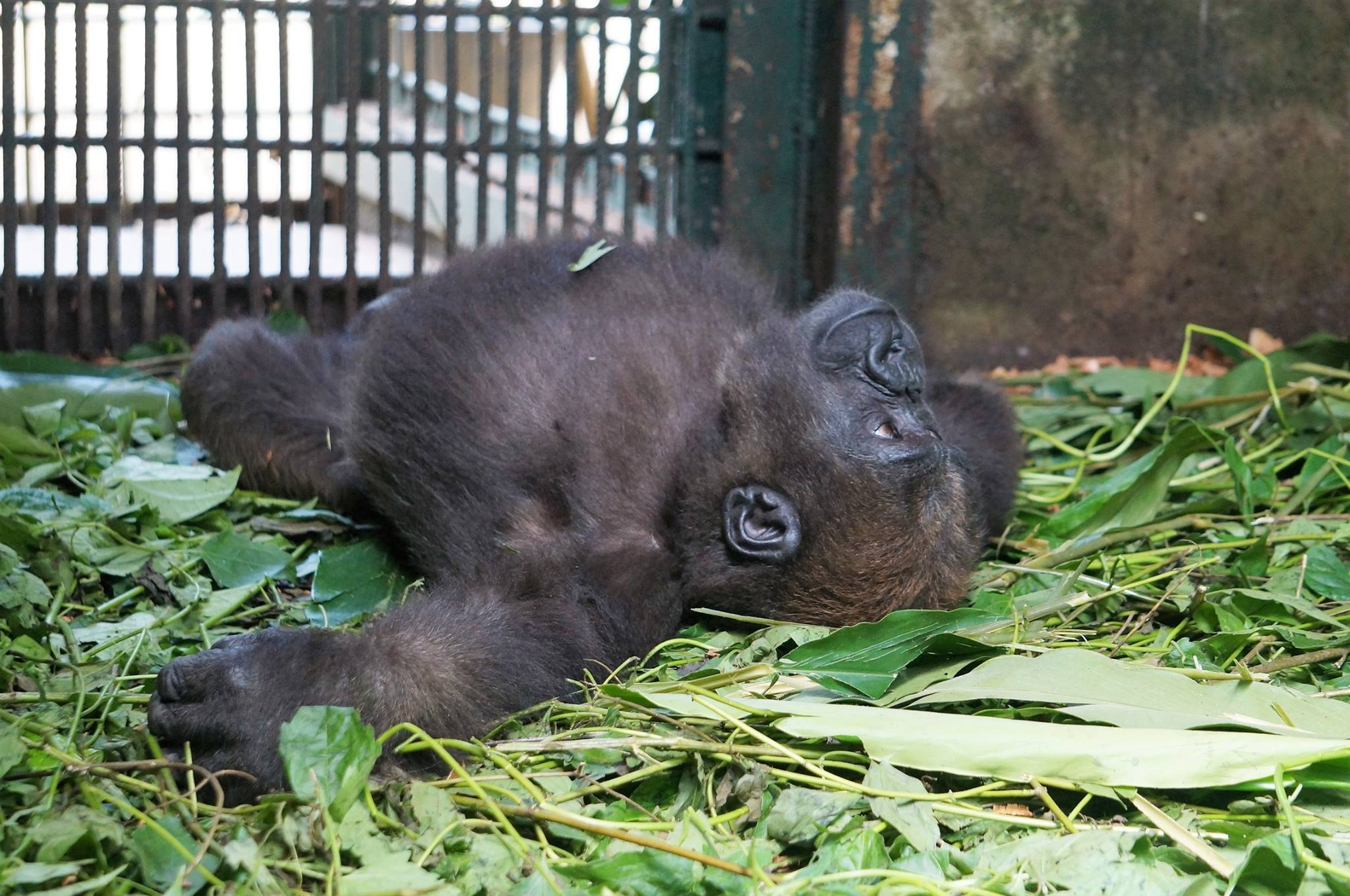 parry-gorilla-5