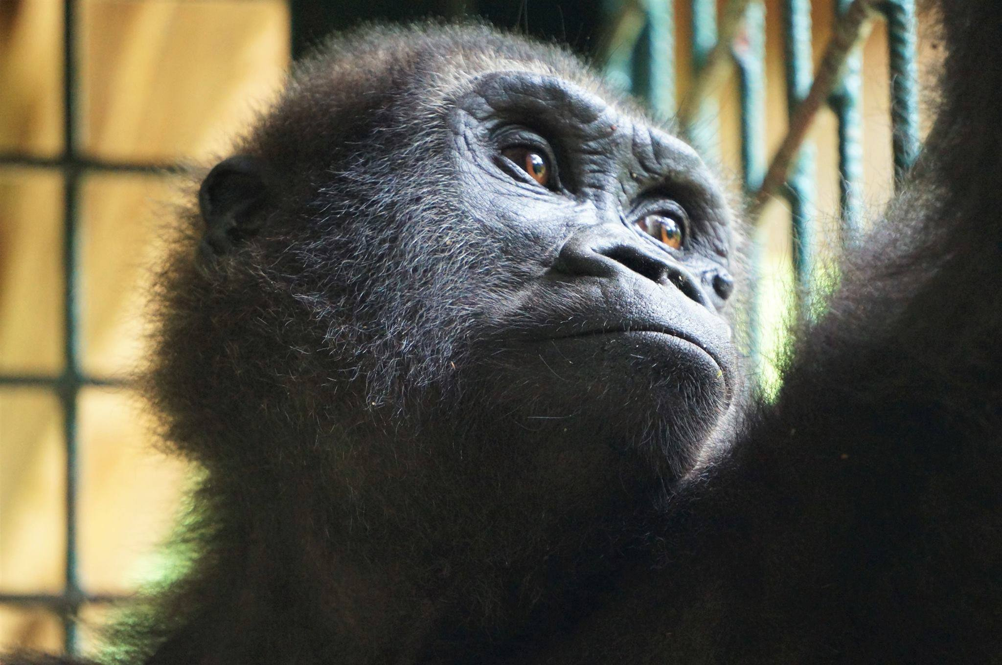 parry-gorilla-6