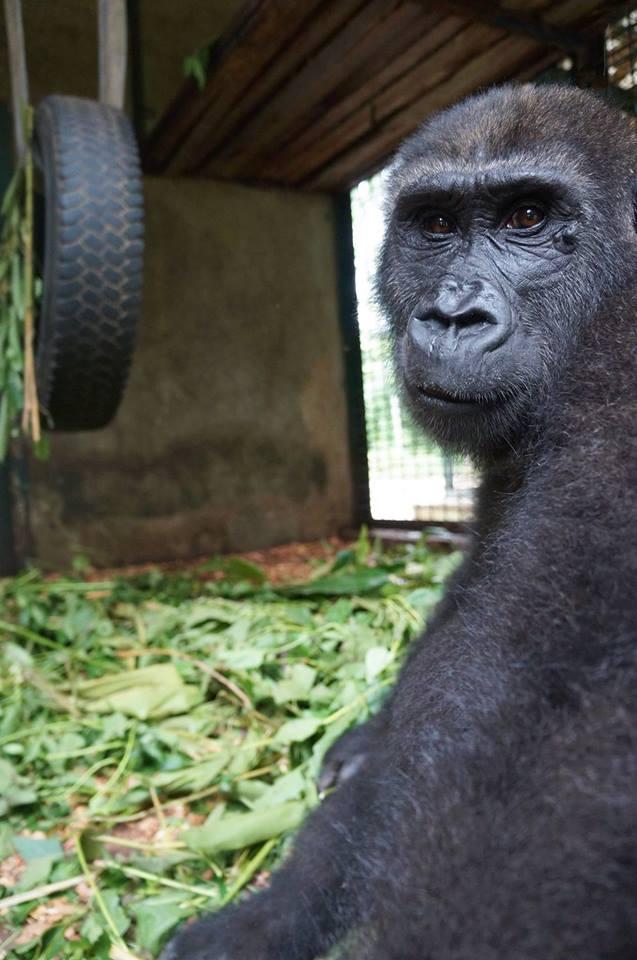 parry-gorilla-7