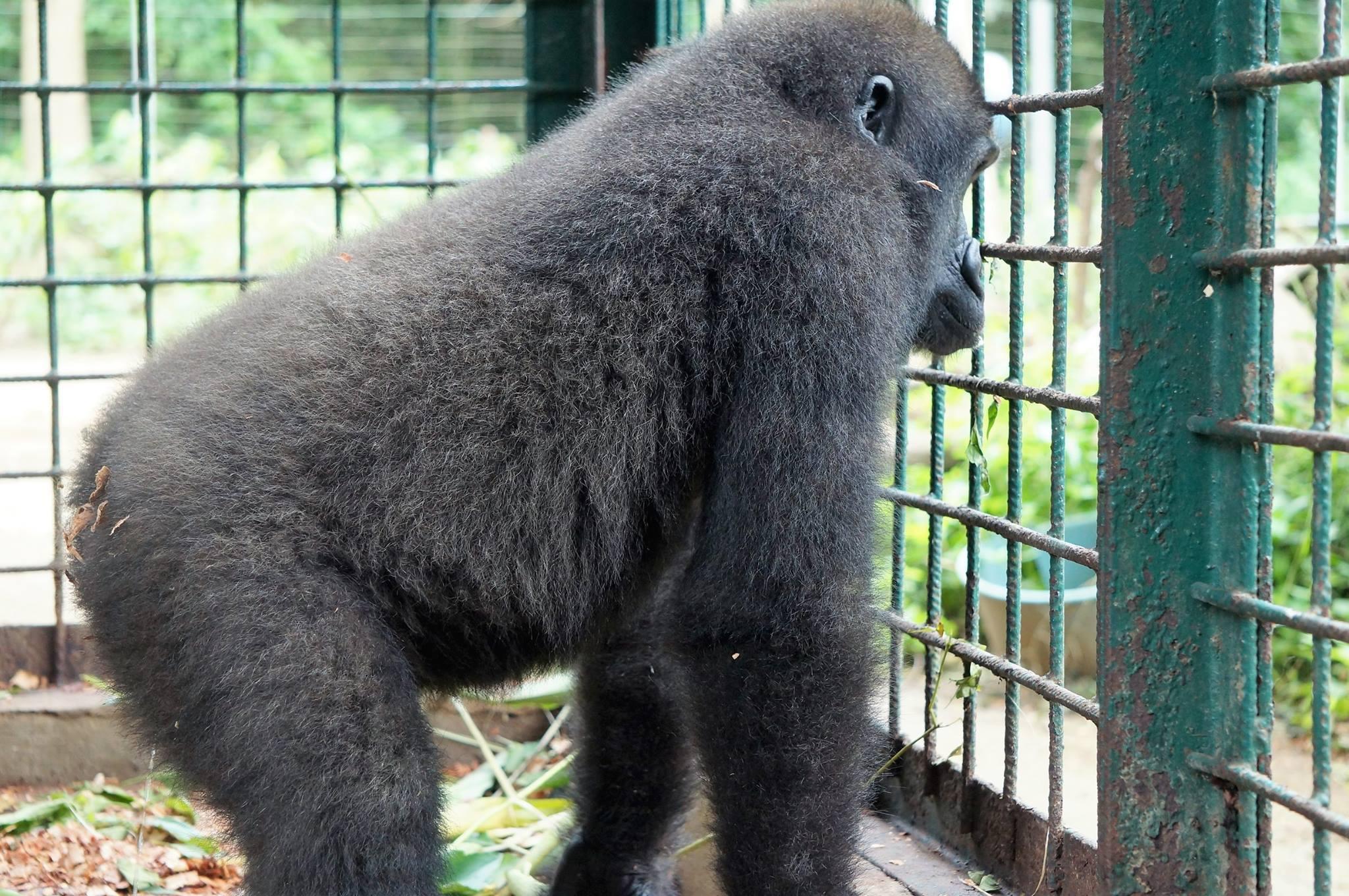 parry-gorilla-8