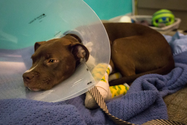 BANGOR, MAINE -- 06/30/2016 -- Phoenix, a 6- to 7-month-old pit bull mix, rests on Thursday at the Bangor Humane Society after being turned over by Brewer police earlier that morning after the arrest of his owner. Jeffrey Mayhew, 31, is accused of dragging the dog behind a pickup truck. Micky Bedell | BDN