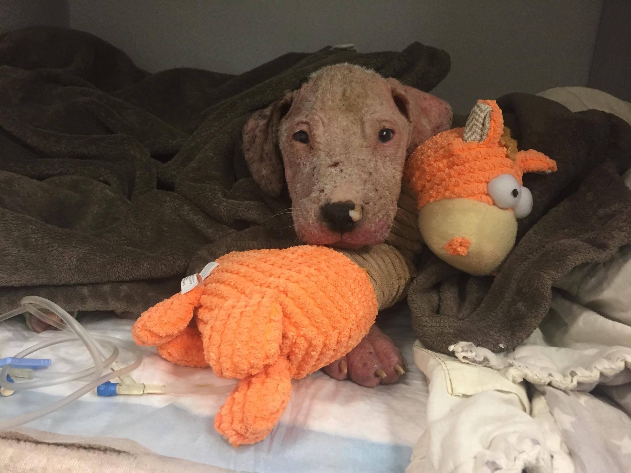 pitbull-chiot-reconfort-veterinaire-2