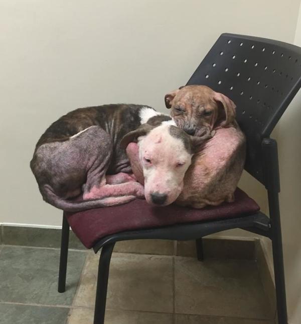 pitbull-chiot-reconfort-veterinaire-9