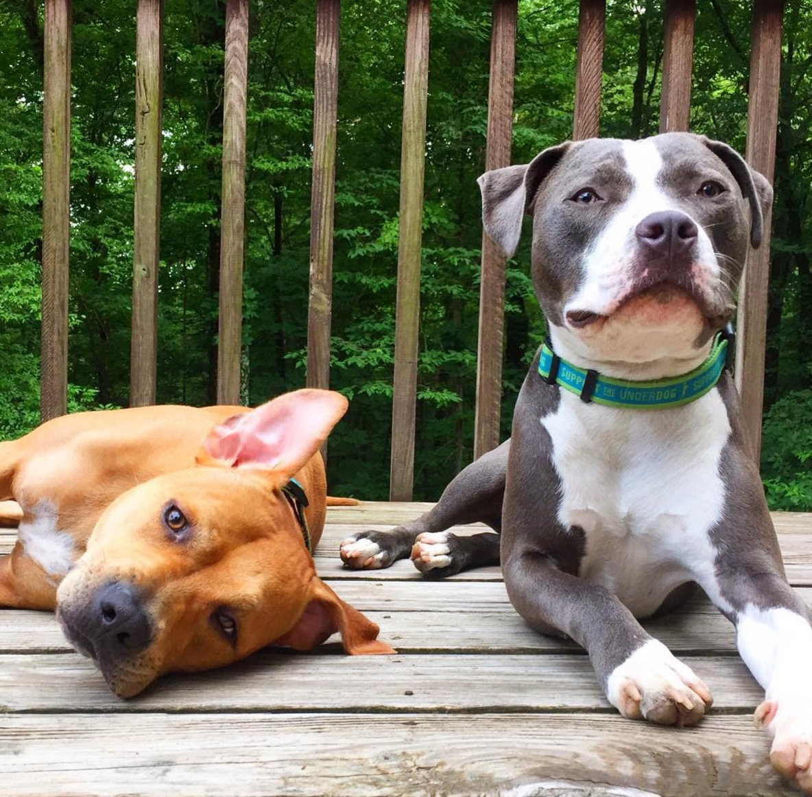 pitbull-terrier-chat-famille-boggs-6