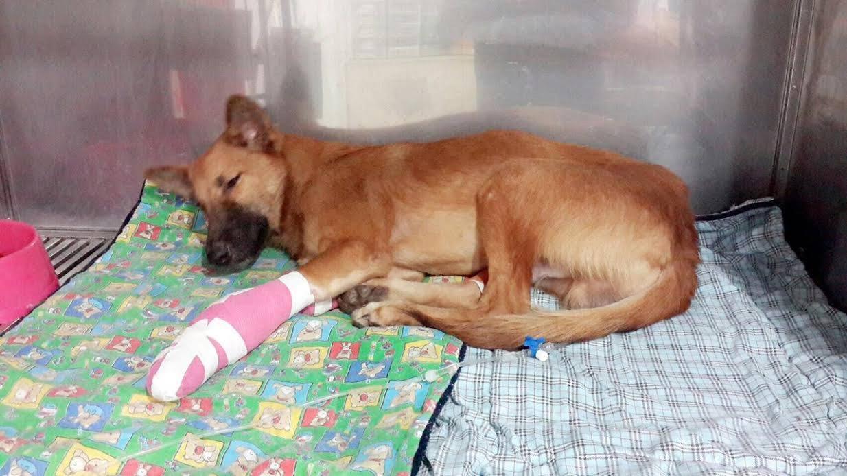 cola-mutilation-thailande-chien-4