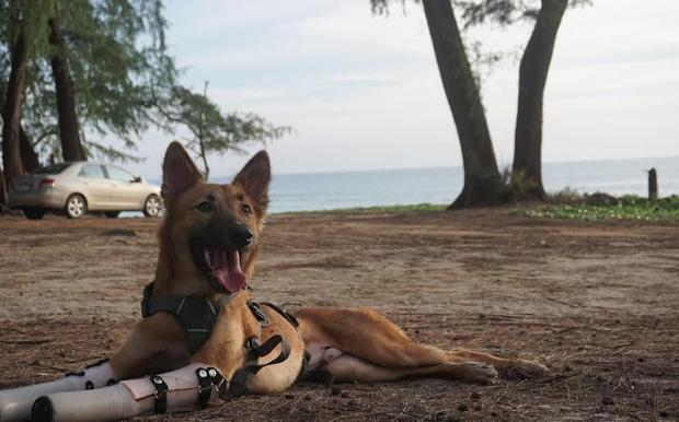 cola-mutilation-thailande-chien-9