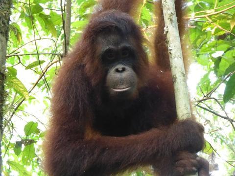 orang-outan-torture-borneo-3