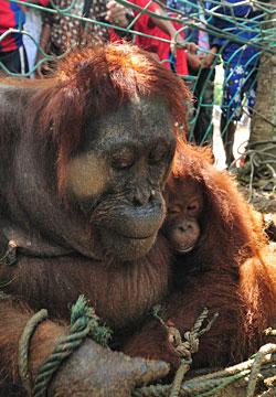 orang-outan-torture-borneo-4