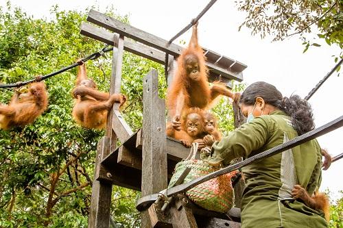 orang-outan-torture-borneo-5