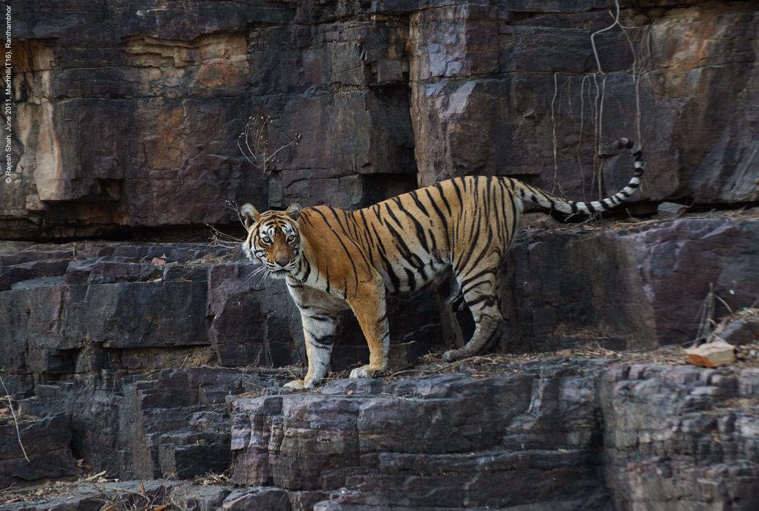 tigre-machali-mort-1