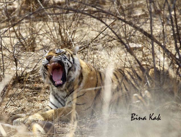 tigre-machali-mort-2