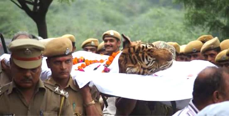 tigre-machali-mort-4