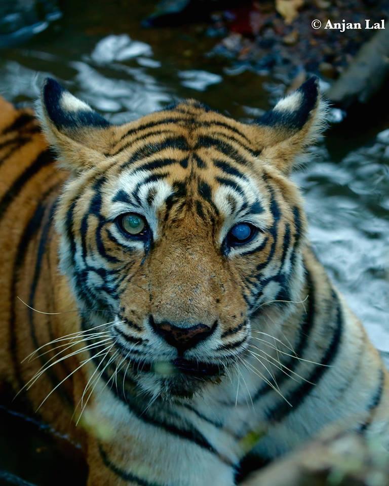tigre-machali-mort-5