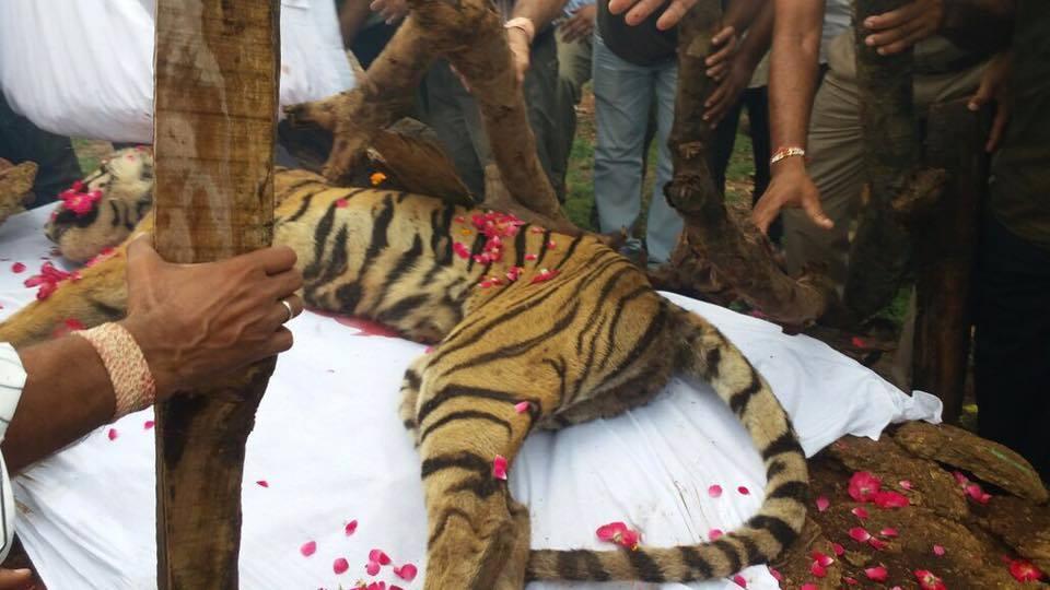 tigre-machali-mort-6