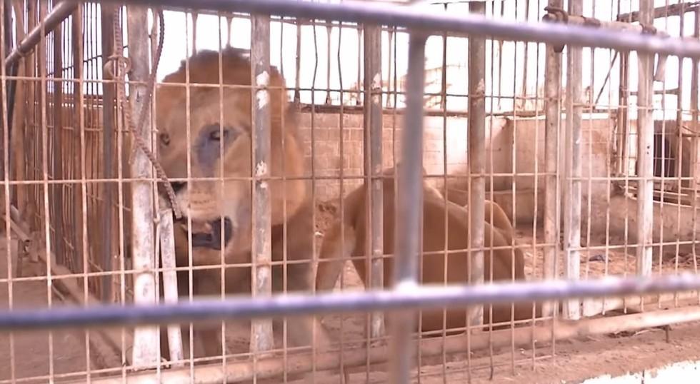 zoo-gaza-sauvetage-four-paws-1