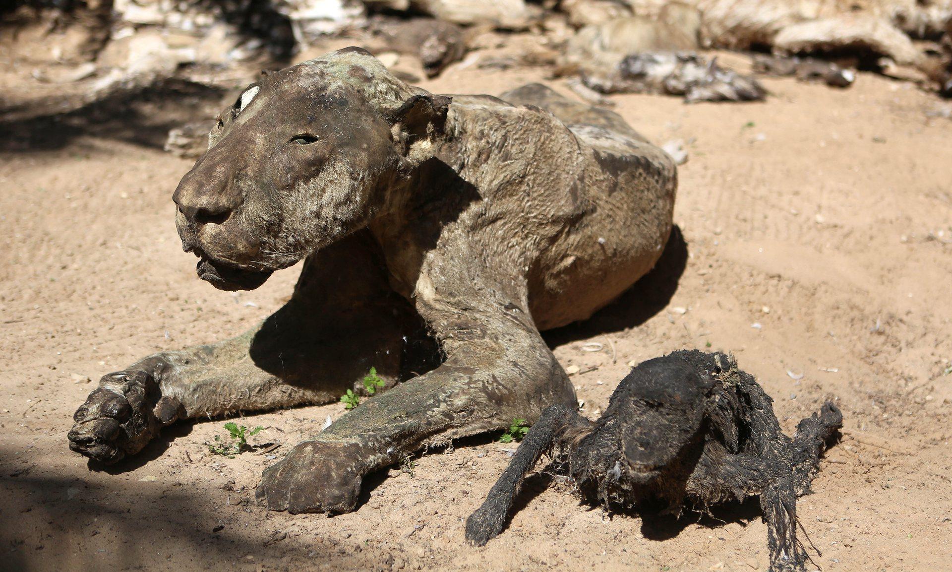 zoo-gaza-sauvetage-four-paws-12