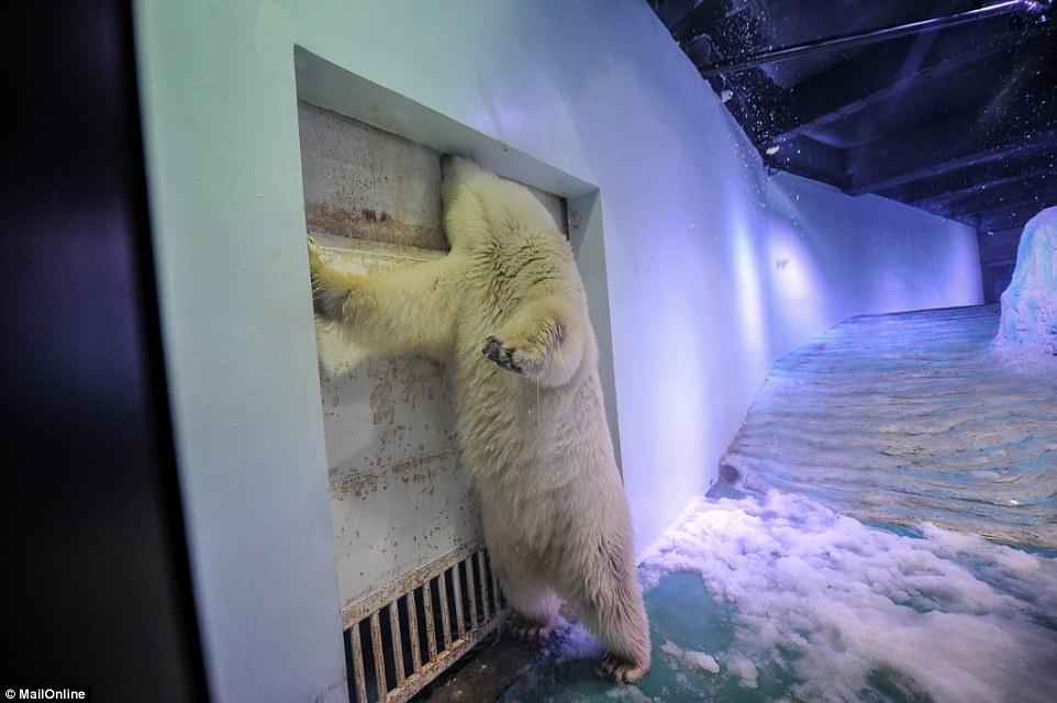 pizza-ours-polaire-chine-aquarium-4
