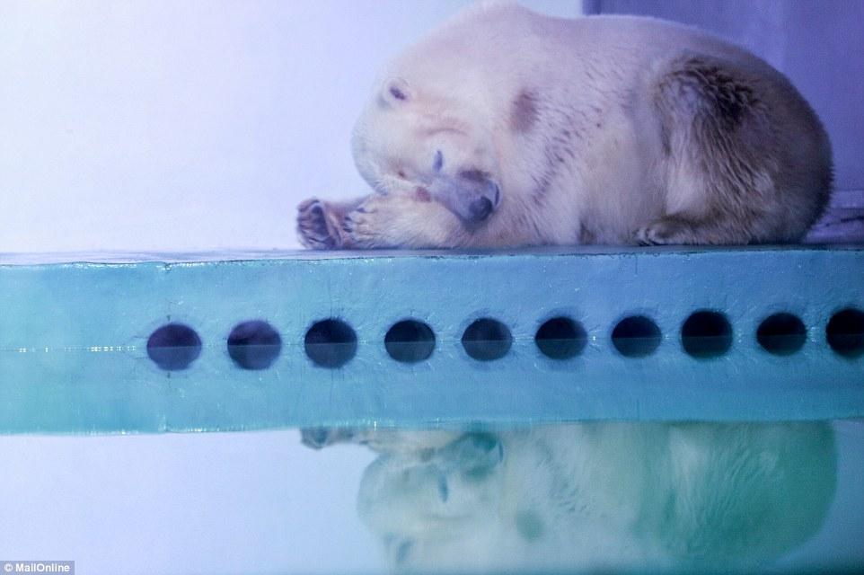 pizza-ours-polaire-chine-aquarium-6