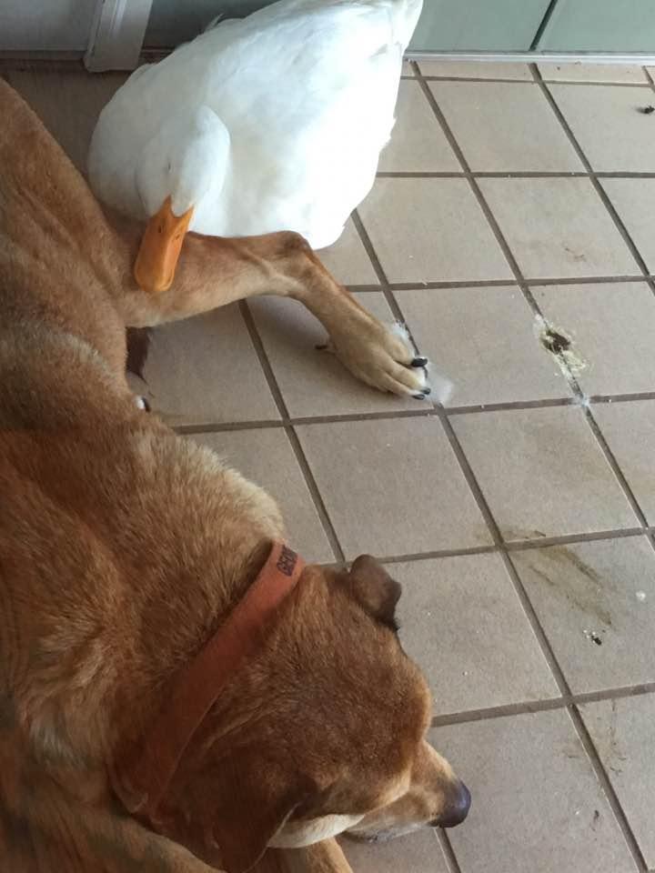 canard-chien-amitié-3