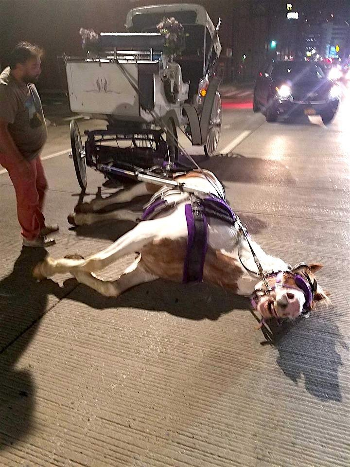 carriage-horse-collapsed-norman-new-york-2