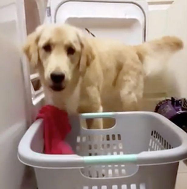 dog-doing-laundring-2