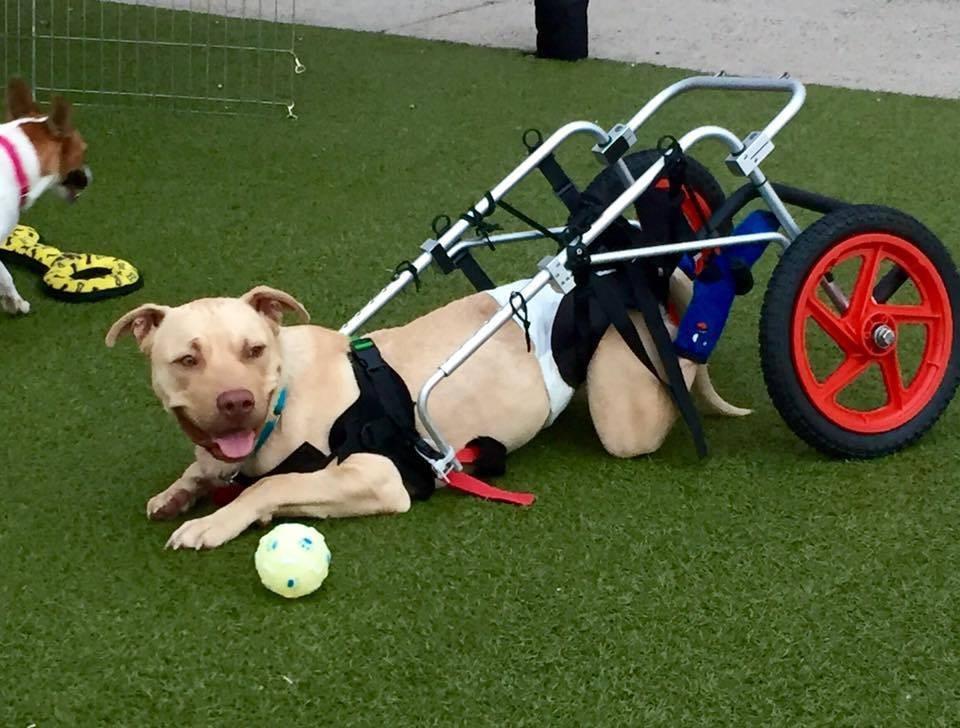 eddie-chien-fauteuil-roulant-1