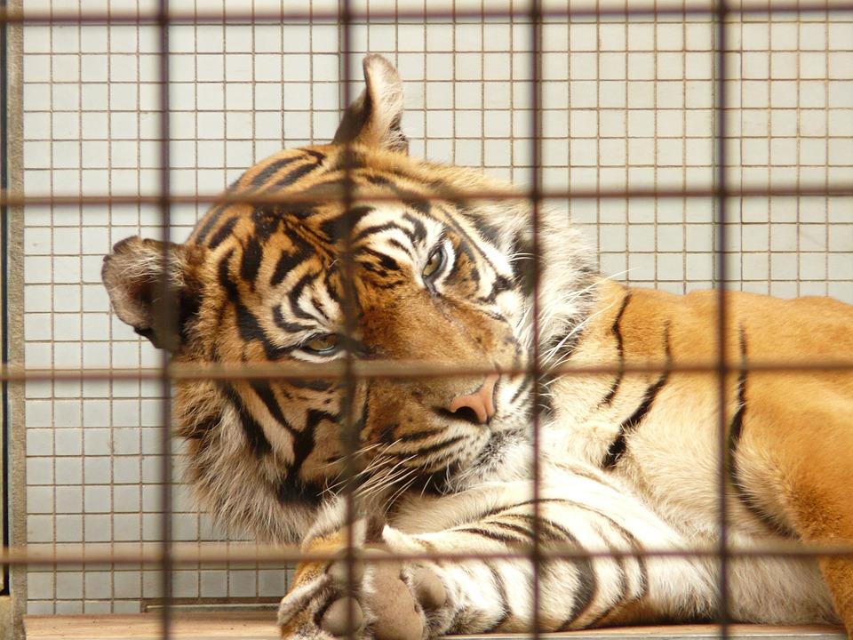 laos-ferme-bile-tigres-interdiction-1