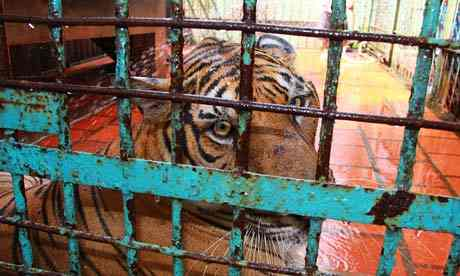 laos-ferme-bile-tigres-interdiction-15