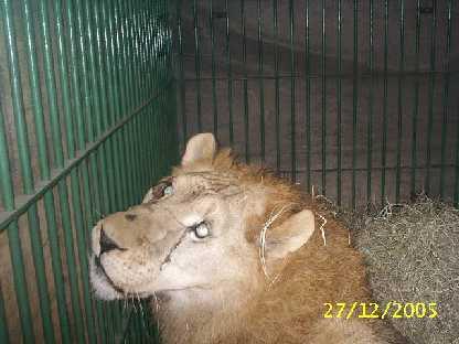 lion-cirque-13-ans-liberation-5
