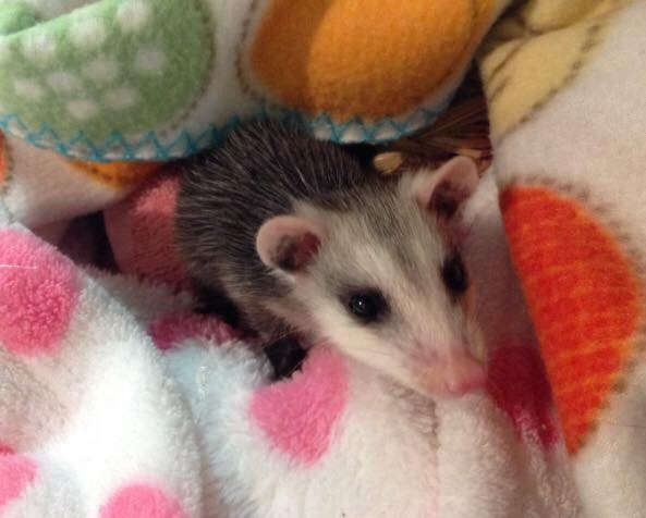 opossums-bebes-inseparables-2