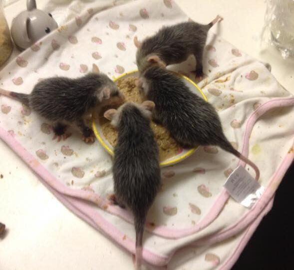 opossums-bebes-inseparables-4