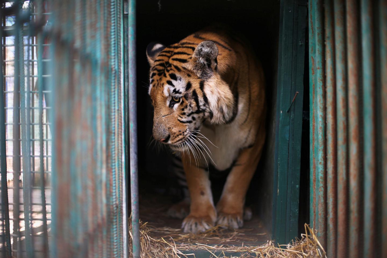 tigre-laziz-zoo-gaza-12