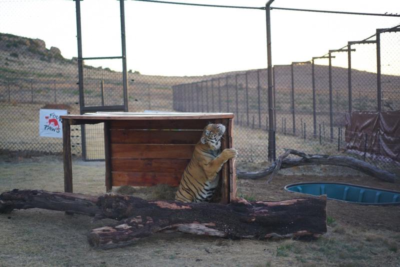 tigre-laziz-zoo-gaza-21