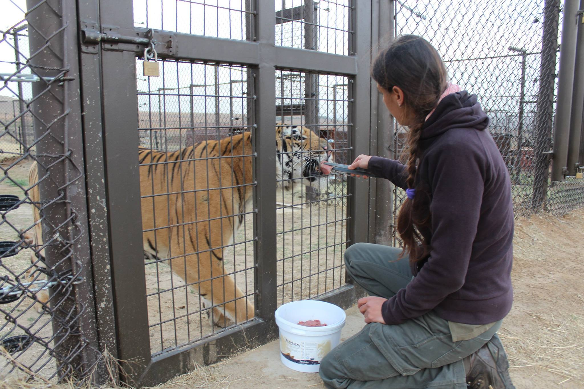 tigre-laziz-zoo-gaza-3