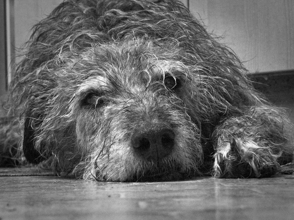 vieux-chiens-1