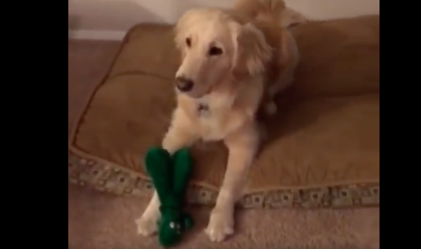 gumby-halloween-golden-retriever-reaction-3
