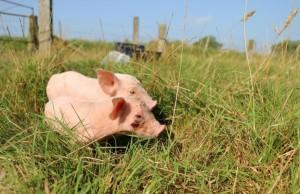arthurolivia-pigs-1