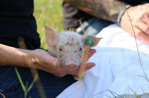 arthurolivia-pigs-2