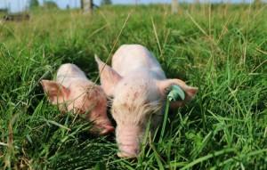 arthurolivia-pigs-3